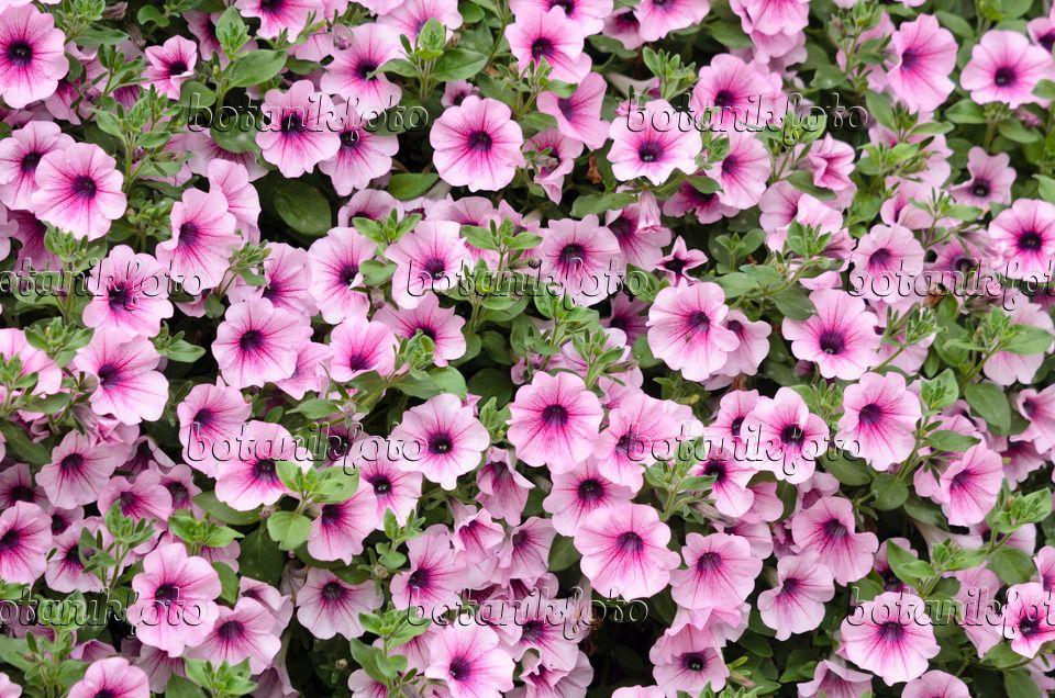 Image Petunia (Petunia Potunia Cappuccino) - 484090 - Images and ...