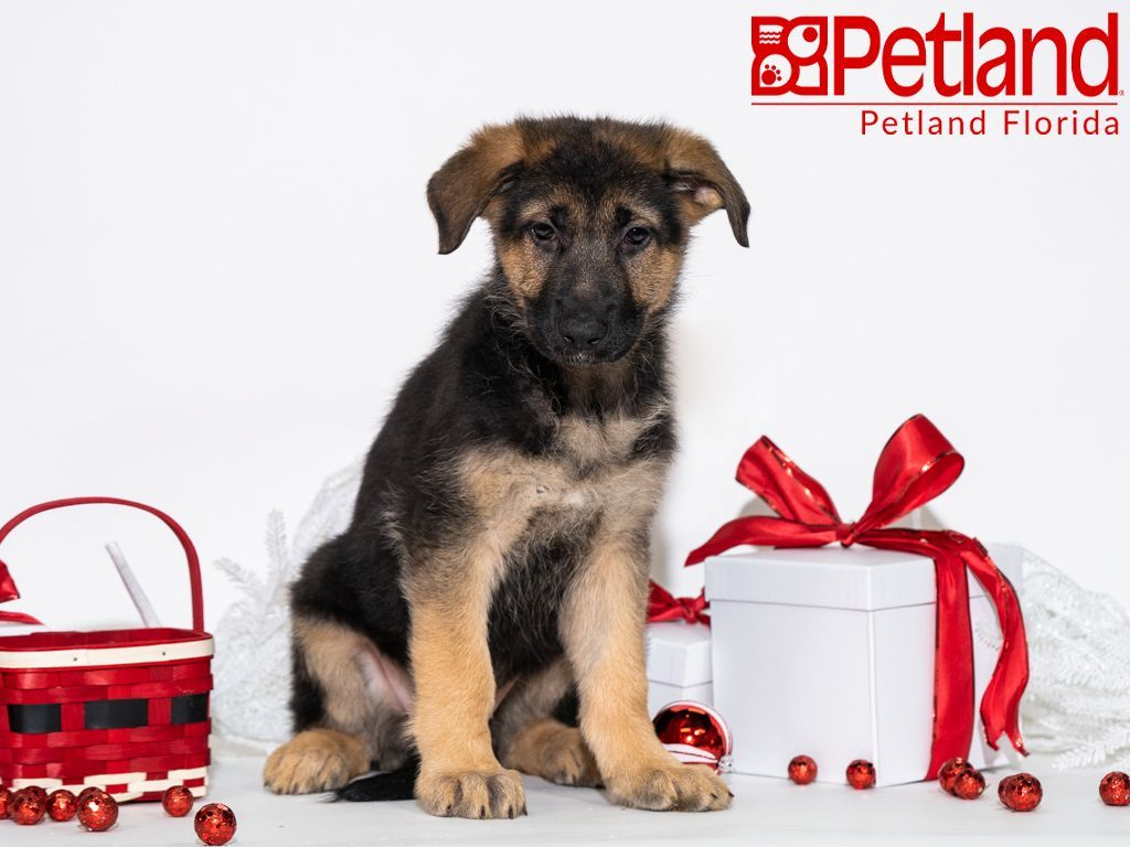 Petland Florida Has German Shepherd Puppies For Sale Check Out