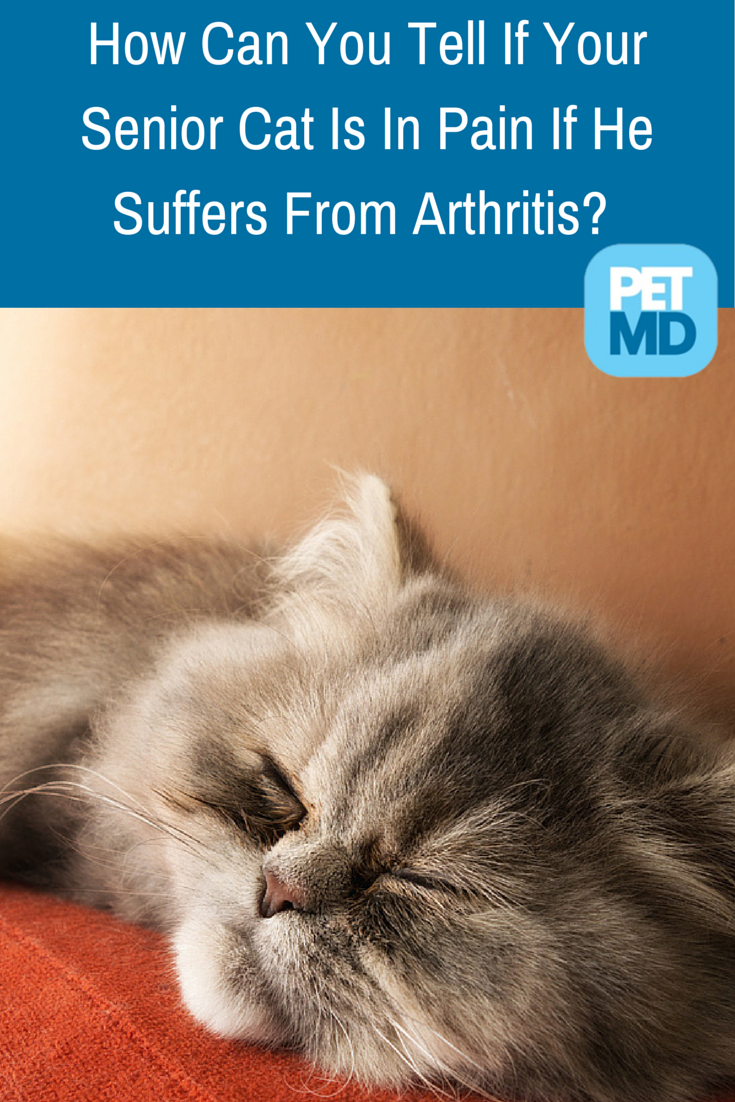 Though arthritis is not a curable condition, the pain it causes can be controlled - so, how can you tell if your senior cat is in pain?   Find out here...
