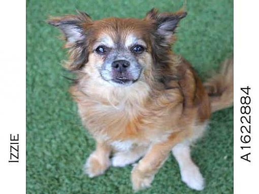 Los Angeles Ca Chihuahua Pekingese Mix Meet Izzie A Dog For Adoption Animals Kitten Adoption Dog Adoption