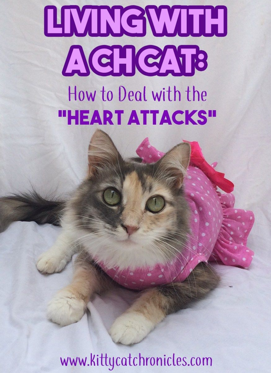 Living With A Ch Cat How To Deal With The Heart Attacks Kitty Cat Chronicles Cats Cat Care What Cats Can Eat