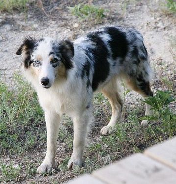 border collie australian shepherd mix blue merle