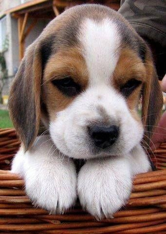 Pin By Mary Moore On Cute Dogs With Images Beagle Puppy Cute
