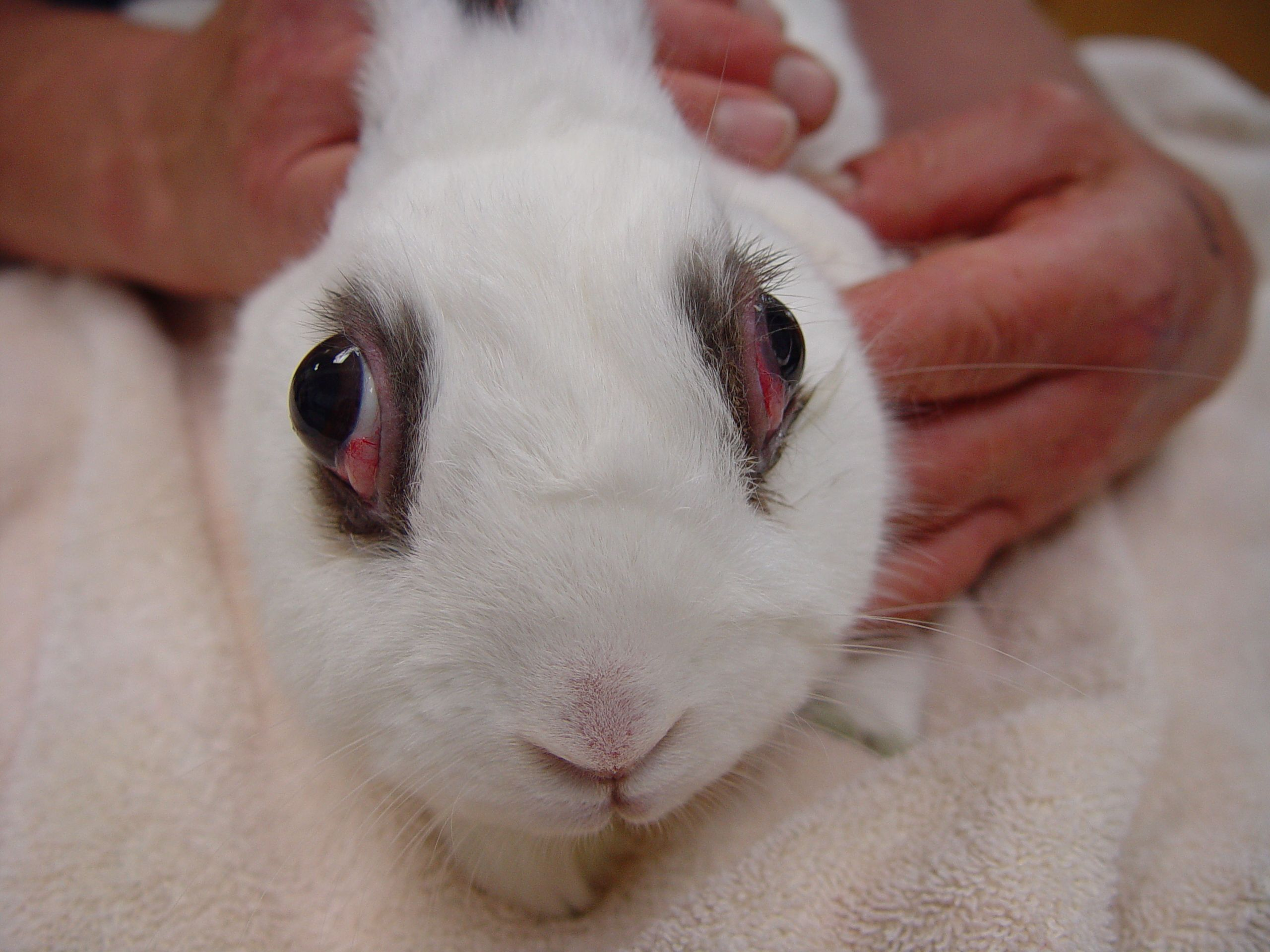 Heart Disease In Rabbits With Images Heart Disease Animal