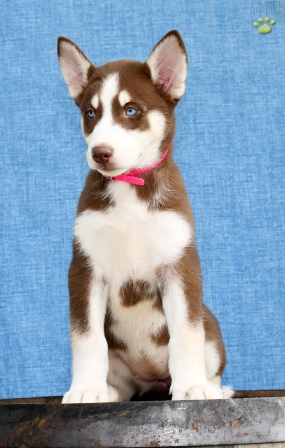 Peach Siberian Husky Puppy for Sale in Sugarcreek, OH