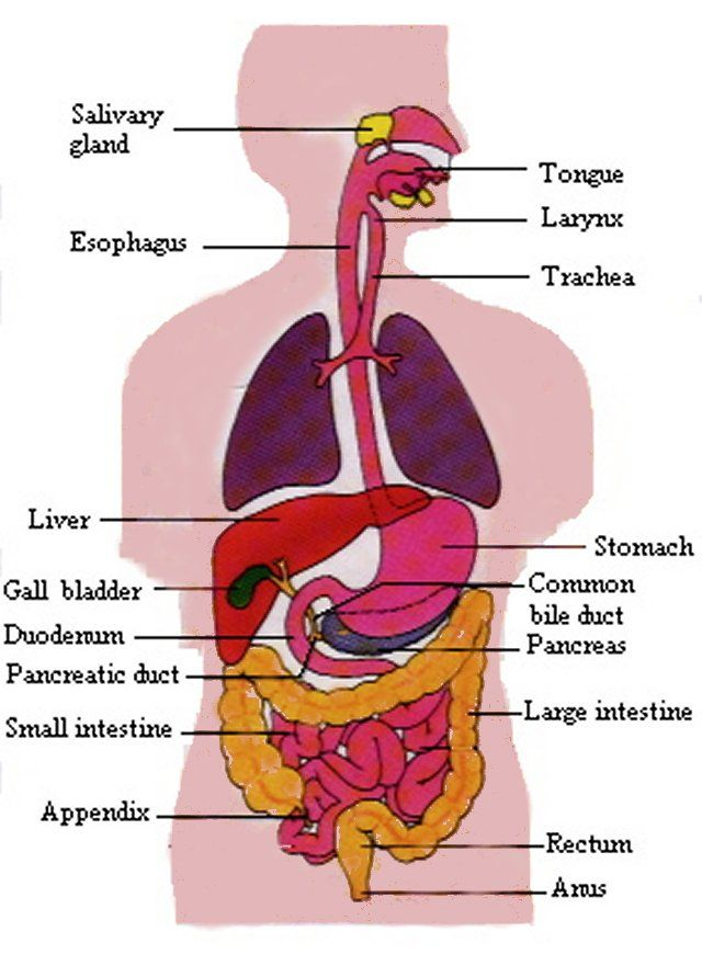 digestive system anatomy | Chapter 35 Digestive and Endocrine ...