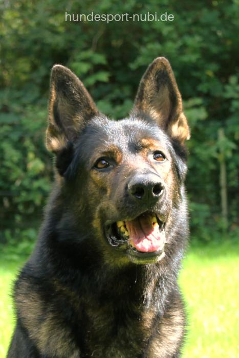 Ostdeutscher grauer Schäferhund, Deutscher Schäferhund