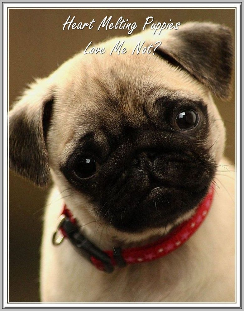 Dog Ownership Know It All Men S Best Friend Pugs Cute Animals