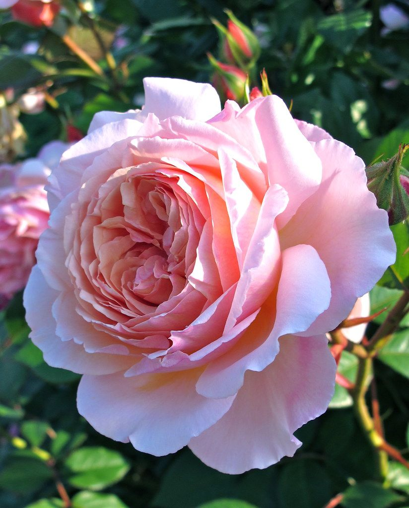 A Shropshire Lad rose is part of English roses - Explore Susan R~'s photos on Flickr  Susan R~ has uploaded 343 photos to Flickr