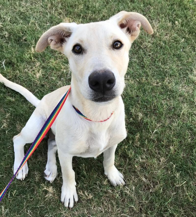 Adopt 2017414 Miley on Shepherd mix dog, Pets, Labrador