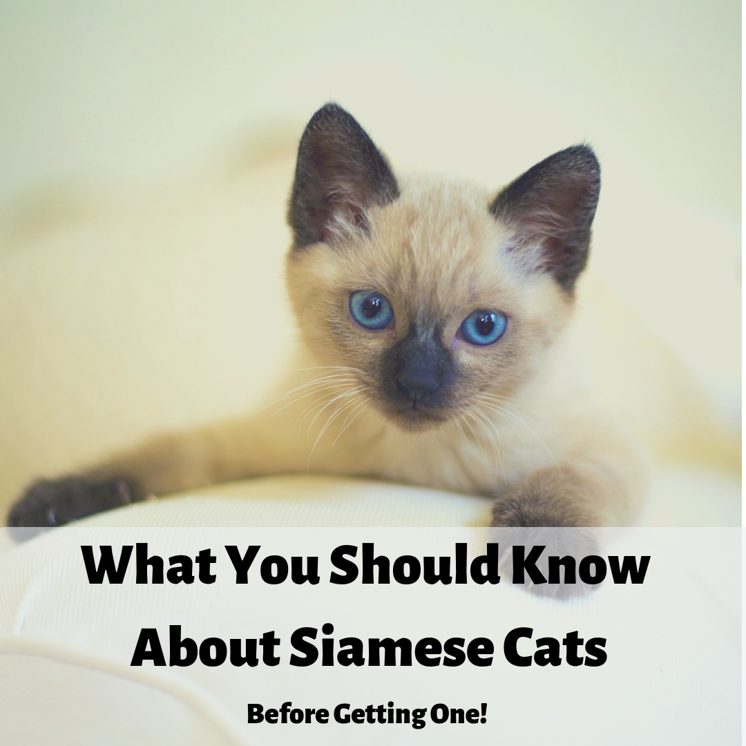 Siamese Cats What You Should Know Before Getting One