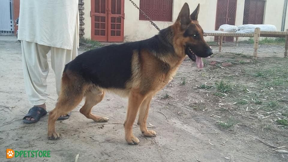 Bravo Son Of Rossow German Shepherd Young Dog For Sale With