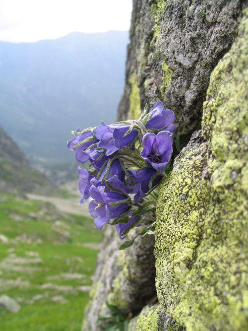 Campanula Alpina Photos Diagrams Topos Wild Flowers Alpine Flowers Alpine Plants
