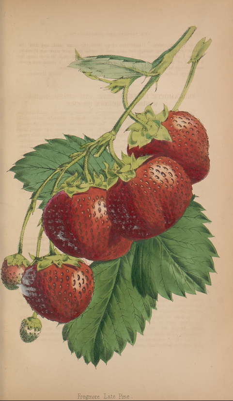 """smithsonianlibraries: """"People across the nation celebrate Strawberry Day today, while the less health-conscious among us are just waiting for National Strawberry Shortcake Day on June 14. From: The..."""