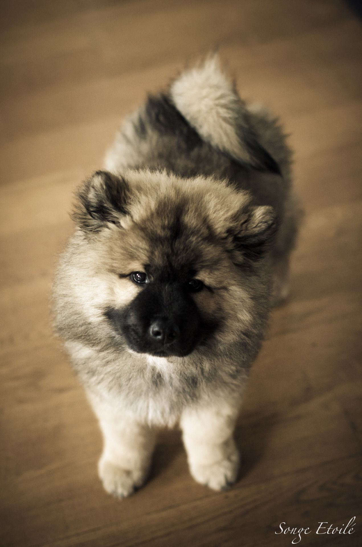 Pin By Looking For The Aesthetic On The Most Adorable Animals Ever Keeshond Puppy Beautiful Dogs Cute Dogs