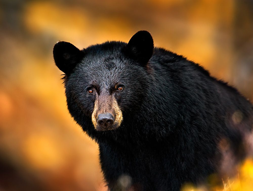 Head shot of a black bear in the fall in Yellowstone NP | Title: Black Bear Stare Down | Location: Wyoming | Park: Yellowstone National Park | Season: Fall