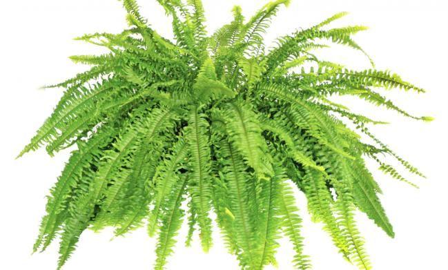 Top 10 plantas que purifican el aire y mejoran el feng for Las mejores plantas segun el feng shui