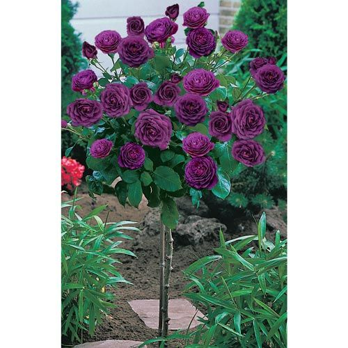 Patio Tree Rose... These Sturdy, Thick 20u0027u0027 Stemmed Patio Tree Roses Can Be  Planted In Tubs (and Stored In Protected Locations In Sub Zero Winter Au2026