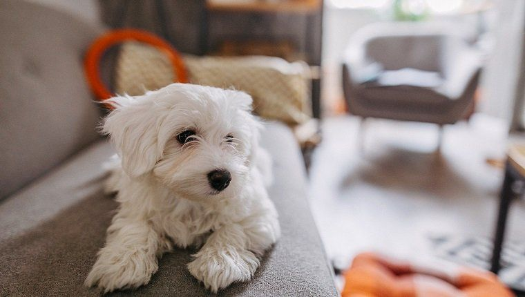 29 Good Apartment Dog Breeds That Fit In Small Living ...