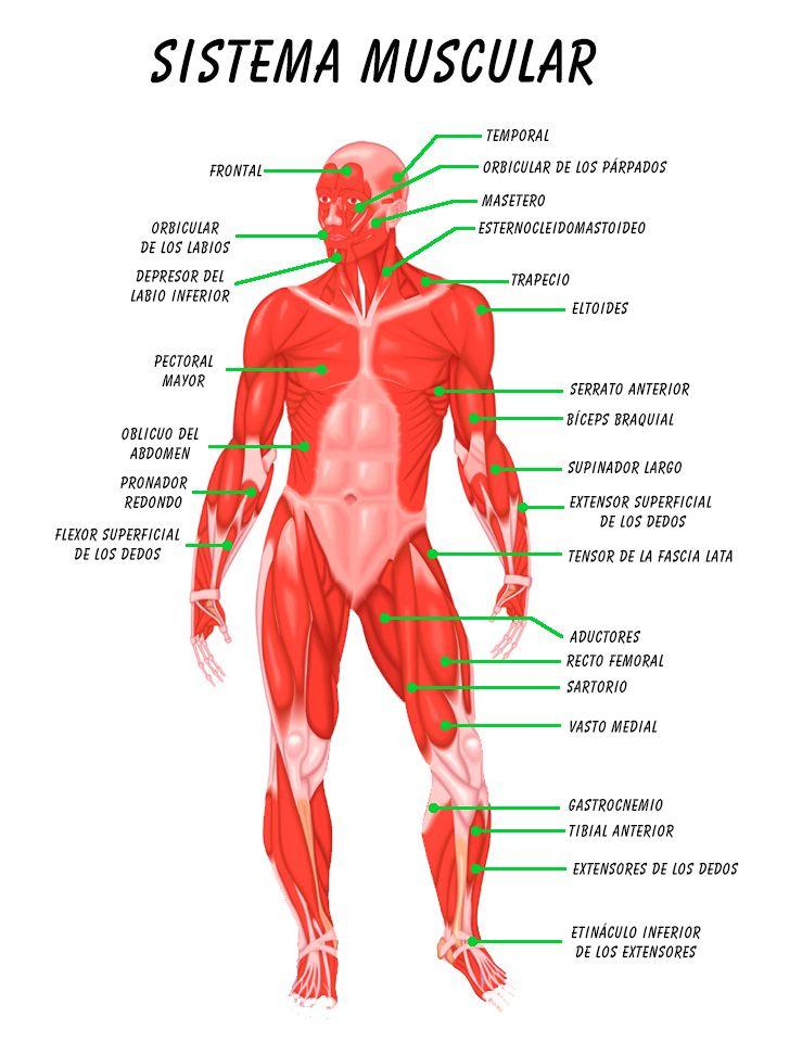 esquemas-sistema-muscular-con-nombres_0002.jpg (1516×2000) | ideas 3 ...