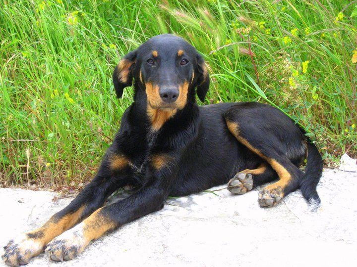 Athenian dog #1