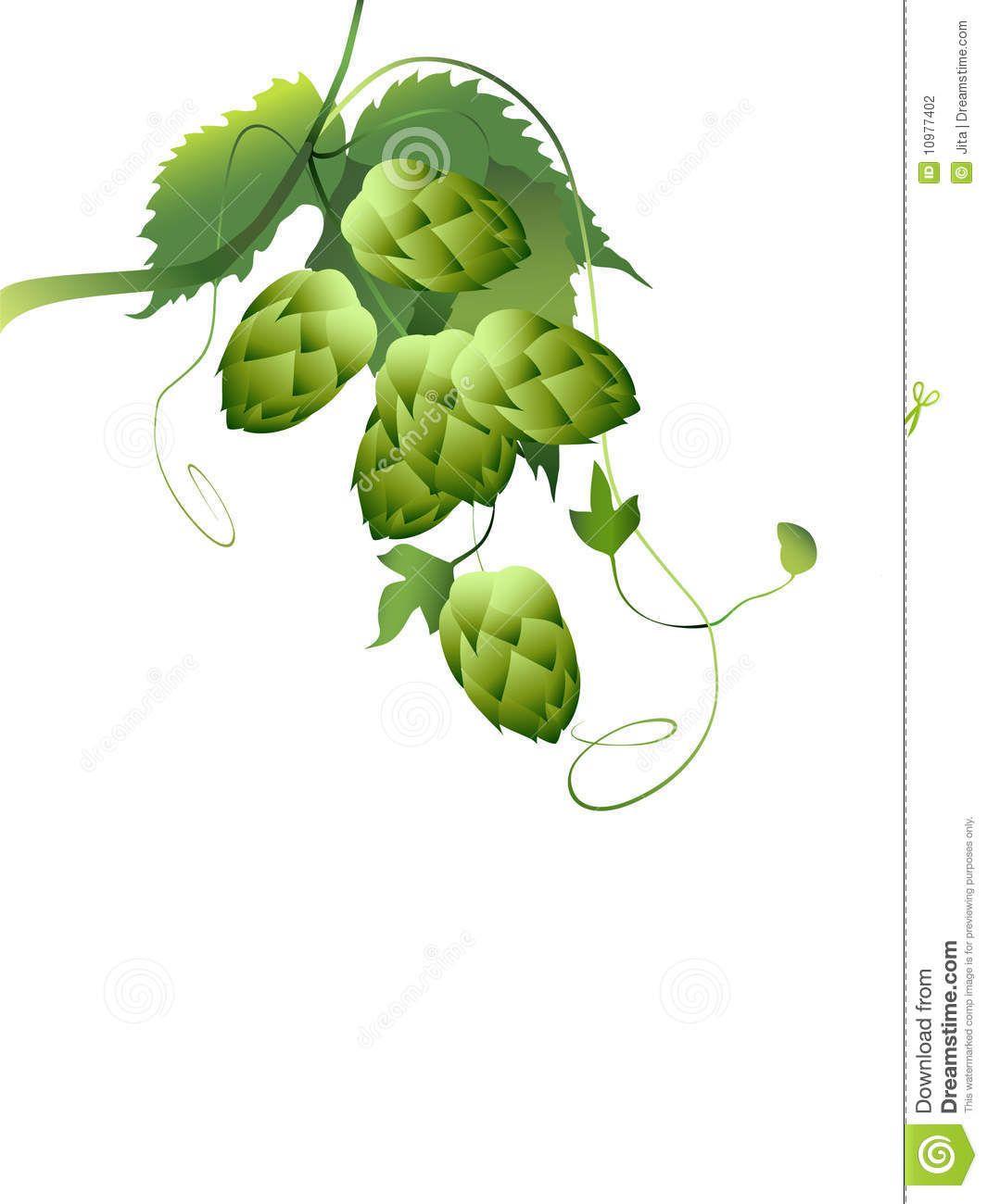 Hop vine illustration