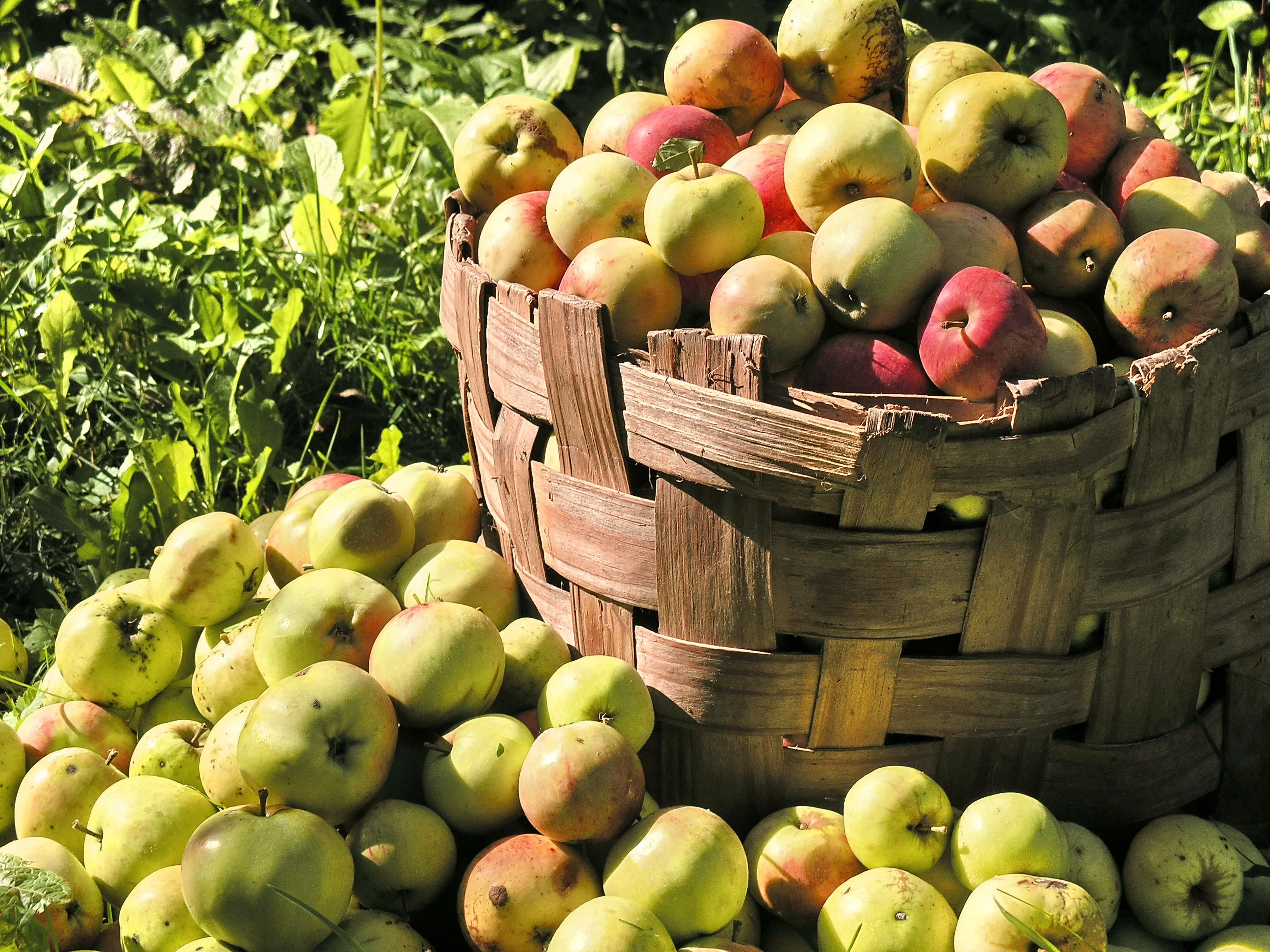 The fruit of the gods apple magical properties and uses the fruit of the gods apple magical properties and uses magical herbs biocorpaavc