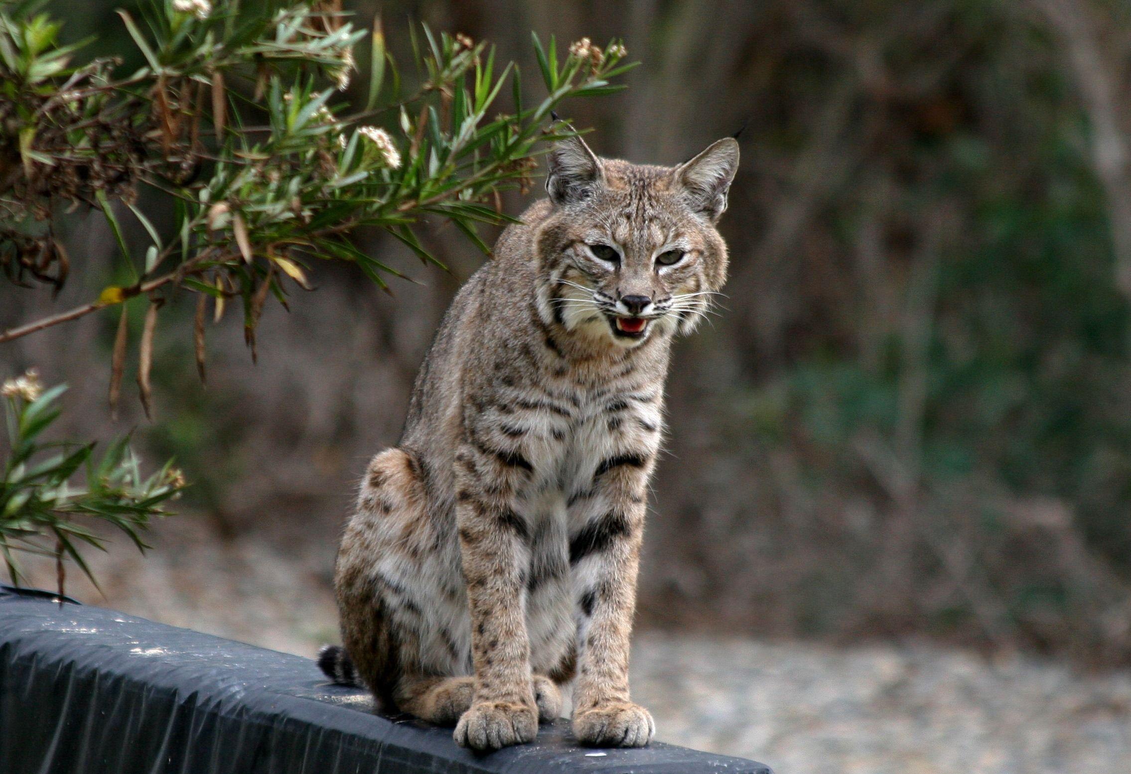 El lince rojo o gato montés de Norteamérica es un mamífero carnívoro ...