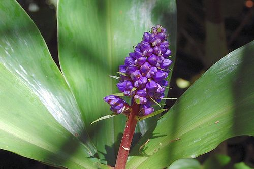 Purple Ginger Plant Ginger Plant Plants Flower Garden