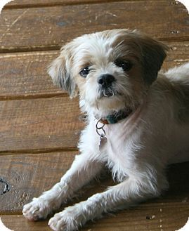 baltimore, MD Shih Tzu. Meet Dandelion, a dog for