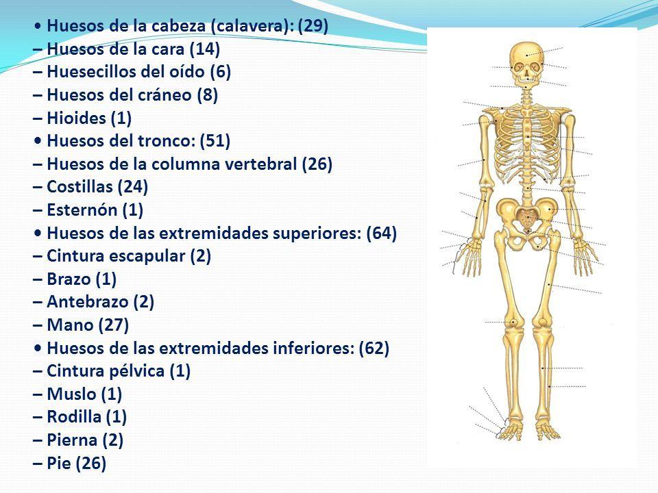 Único Huesos En El Brazo Inferior Inspiración - Anatomía de Las ...