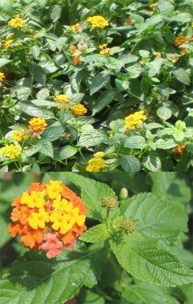 The Amazing Lantana Plant Lantana Plant Lantana Plants