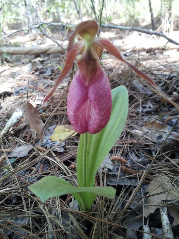 Wild flower lady slipper