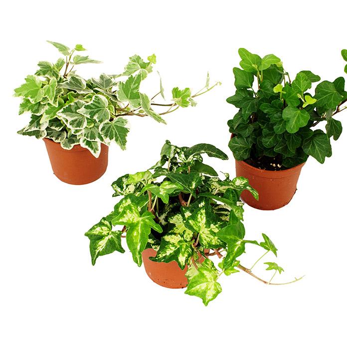 Piardino Efeu Hedera Helix Topfgrosse 7 Cm Blattfarbe Dunkelgrun Bauhaus Bauhaus Pflanzen Grunpflanzen