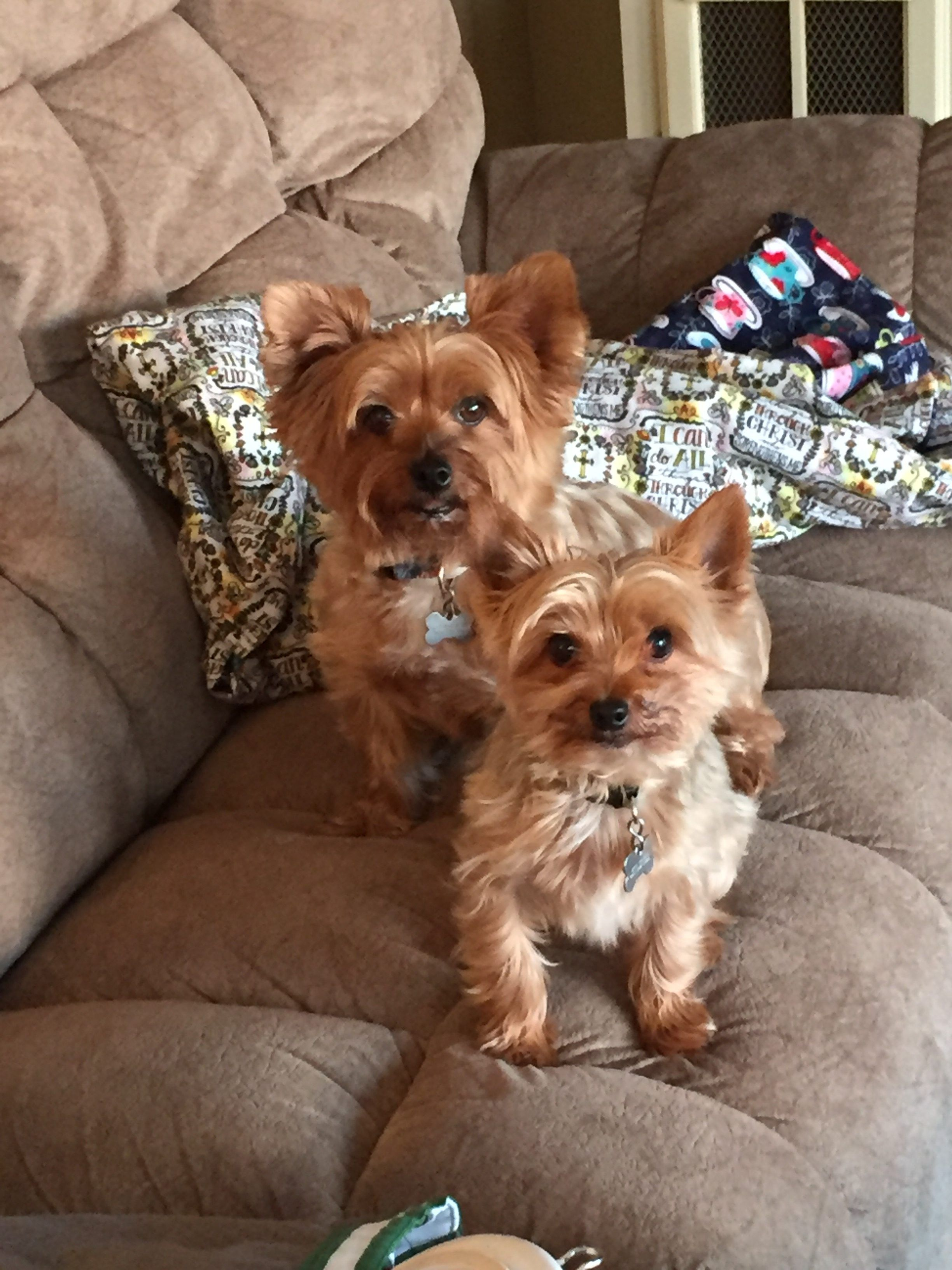 Laurie S Jack And Jonah With Images Yorkie Yorkshire Terrier Cuddling
