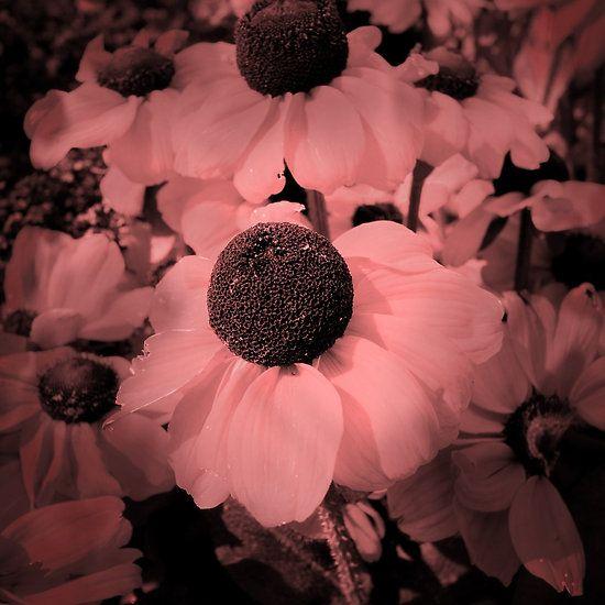Red Black-eyed Susans