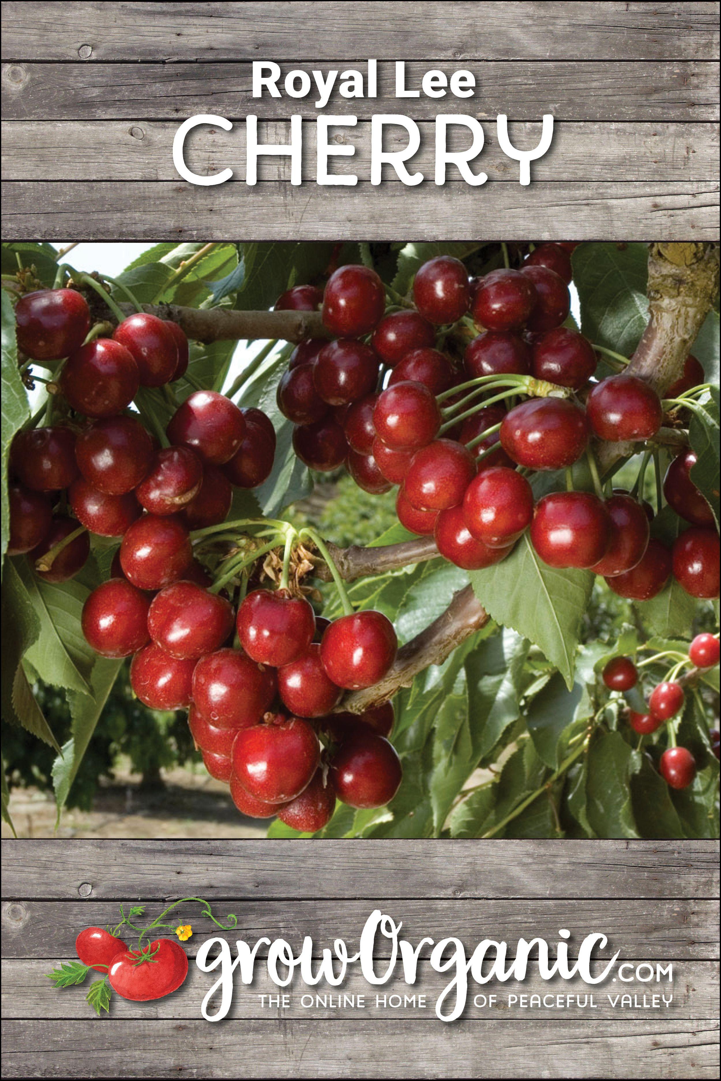 Royal Lee Cherry Tree Semi Dwarf Cherry Cherry Tree Sweet Cherries