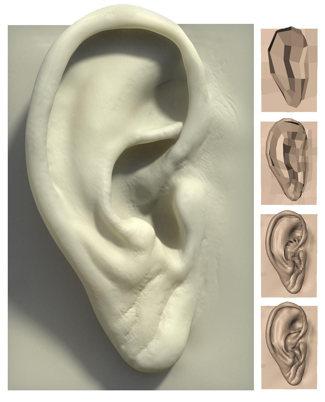 la oreja | cabezas | Pinterest | External ear anatomy, Ear anatomy ...