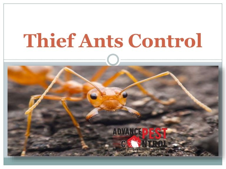 Thief Ants Control Ant Control Wasp Nest Removal Ants