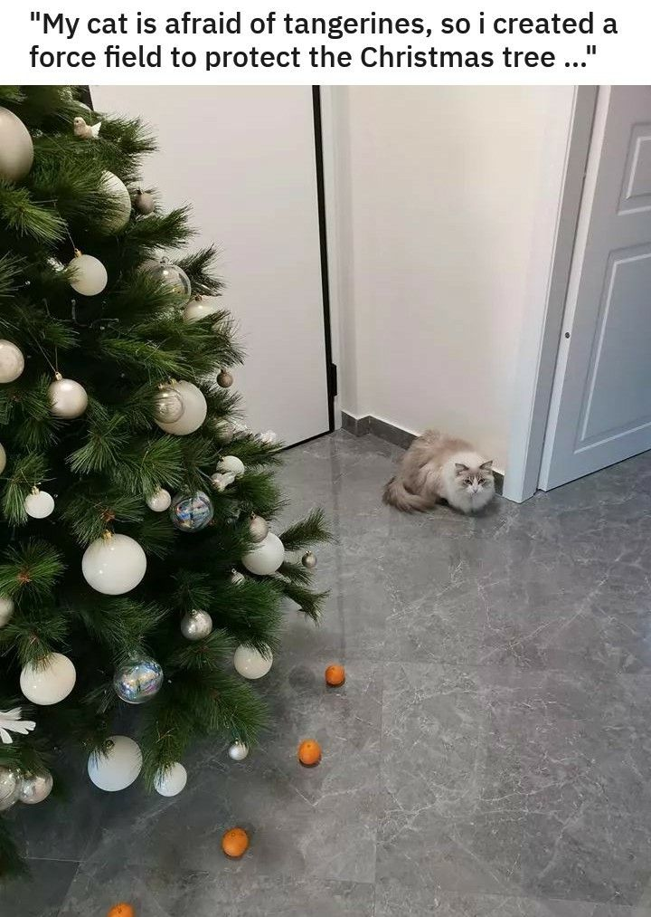 My cat is afraid of tangerines, so i created a force field to protect the Christmas tree... #funnykittens