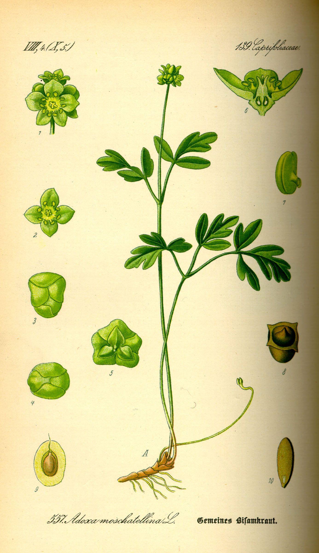 Adoxa moschatellina de Thomé, Flora von Deutschland, Österreich und der Schweiz (1885).
