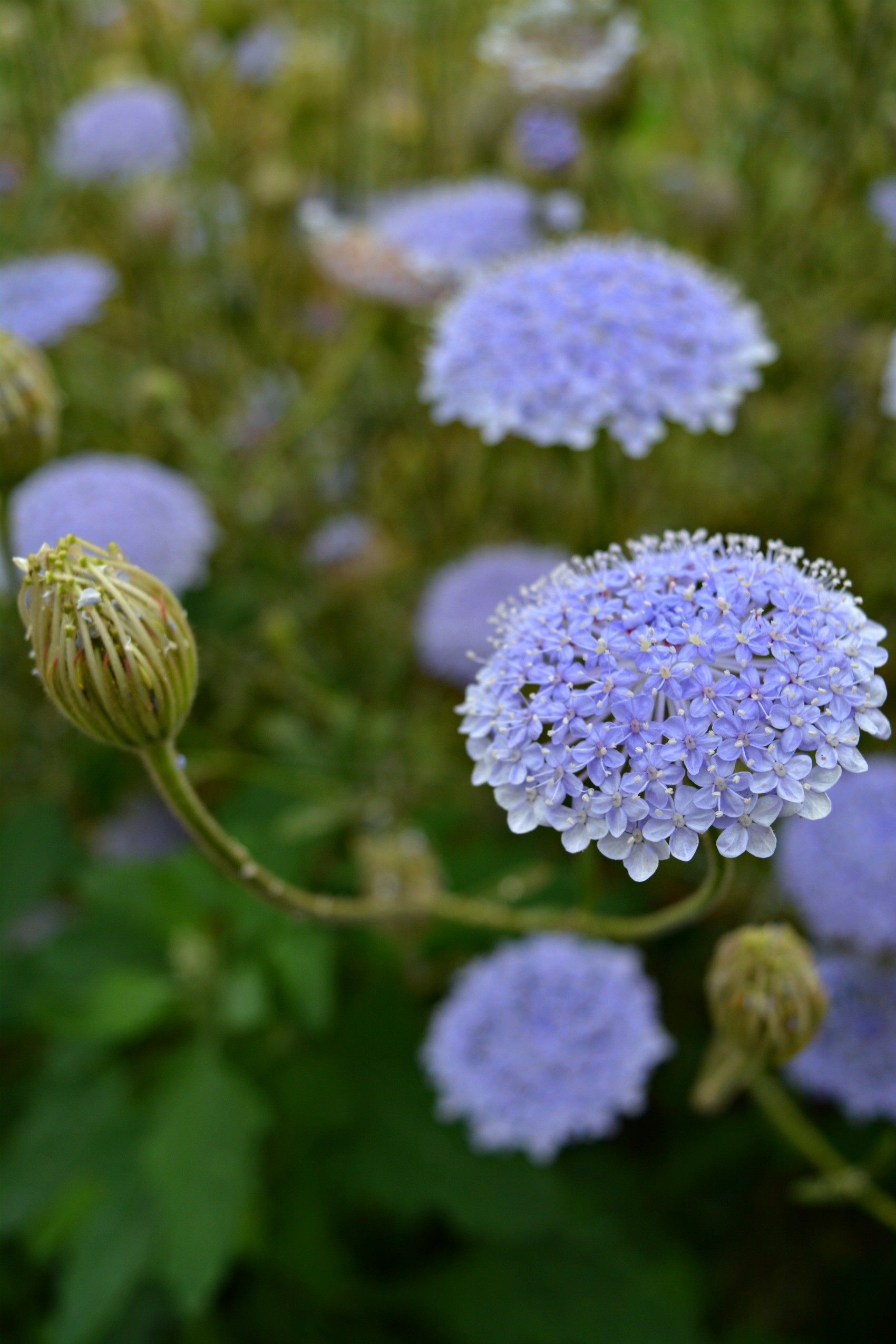Didiscus Lacey Blue All Flowers Flowers Pink Flowers All Flowers