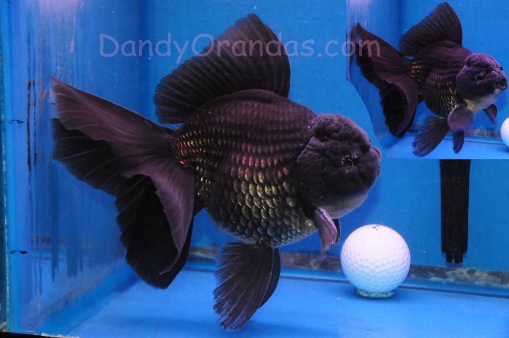 Nice black Oranda.  Notice tubercles on wen (head, behind eye) and on first ray of pectoral fin, (meaning it's a boy ready to make baby goldfish).  Dandy Orandas Jan 2013 auction.