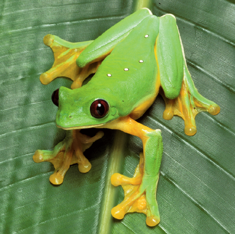 Amazing Frog: Family Hylidae - Tree Frogs