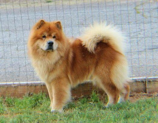 Adopt Jedi On Chow Chow Dogs Dogs Chow Chow