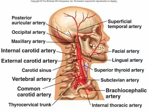 External Carotid artery branches | Anatomy & physiology | Pinterest ...