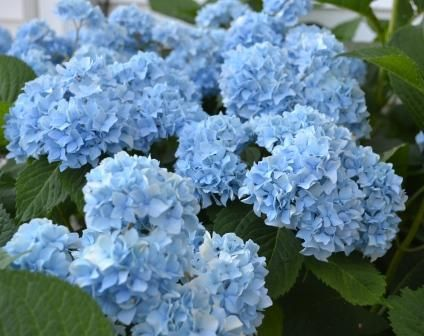 Hydrangea Nikko Blue Gorgeous Article Has An Excellent Advice For Pruning Hyrangea