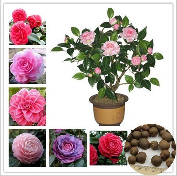 5 semillas pack semillas de camelia semillas de flores diy potted plants interior exterior - Semillas de interior ...
