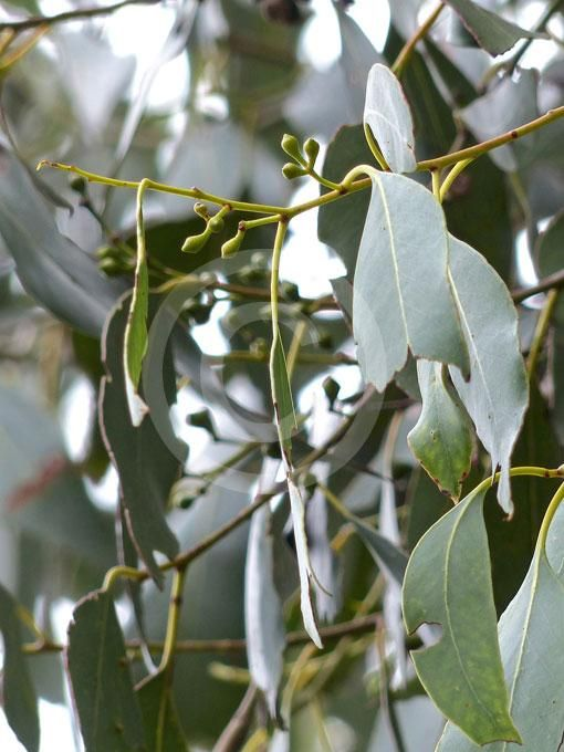 Seeded Eucalyptus Plant