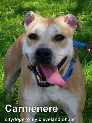Petango Com Meet Carmenere 41 A 3 Years 3 Months Hound Retriever Labrador Available For Adoption In Cleveland O Pets Dog Adoption Pet Adoption